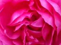 Rainha Margarete Rose Fotografia de Stock Royalty Free