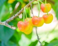 Rainier cherries hanging on branch harvest season at Yakima Vall. Close-up Rainier cherries hanging on branch at Yakima Valley, Washington, USA. Organic fresh Stock Images