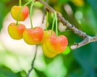 Rainier cherries hanging on branch harvest season at Yakima Vall. Close-up Rainier cherries hanging on branch at Yakima Valley, Washington, USA. Organic fresh Stock Image