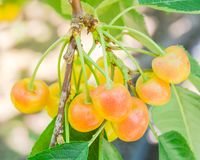 Rainier cherries hanging on branch harvest season at Yakima Vall. Close-up Rainier cherries hanging on branch at Yakima Valley, Washington, USA. Organic fresh Royalty Free Stock Photography