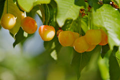 Rainier Cherries Line up Royalty Free Stock Photos