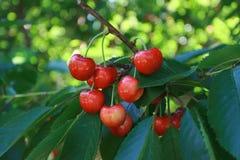 Rainier Cherries que pendura na árvore imagens de stock royalty free