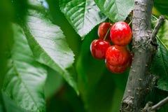 Rainier Cherry da fruto en el árbol de Rainier Cherry en el na local Fotos de archivo