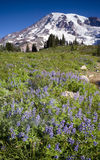 Vertical Slope Mt Rainier Lupine Wildflowers Flora Royalty Free Stock Photography
