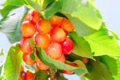 Rainier white ripe cherry berry sweet and juicy fruits Stock Image
