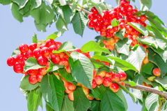 Rainiers white cheries berries on branches Stock Photography