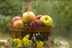 Raining on Apples Royalty Free Stock Image