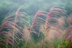 Raining in autumn with reed grass Royalty Free Stock Photography