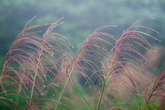 Raining in autumn with reed grass Royalty Free Stock Photos