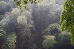 Raining on the bamboo forest Stock Photos