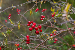 It raining in a clump of rose hips. Hips. Berry red fruit of wild rose (Rosa canina) in autumn with raindrops Stock Image