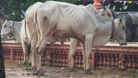 Raining, cows ,  cambodia, southeast asia stock video