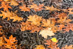 Raining on Floating Fall Leaves in a Puddle - Close Up Stock Image