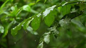 Raining forest tree green leaves. Close up stock footage