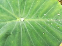 Raining on the lotus leaf. Close up to rain drop on lotus leaf in the garden stock photography
