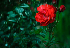 Raining on a rose-tree.  Royalty Free Stock Photo
