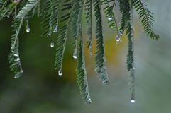 Raining. Water drops from tree in a raining Royalty Free Stock Photos