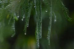 Raining. Water drops from tree in a raining Stock Photography