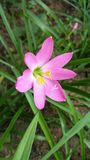 Rainlily Foto de Stock