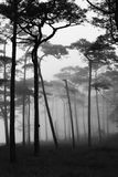 Rains pine forest Royalty Free Stock Photos