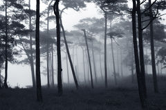 Rains pine forest Stock Photos