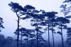 Rains pine forest Royalty Free Stock Images