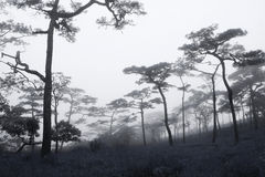 Rains pine forest Stock Images