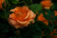 When it rains. Raining in the garden of roses. Photography of nature Royalty Free Stock Image