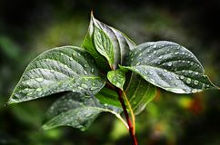 Leaves and Plants in Rainstorm Royalty Free Stock Images