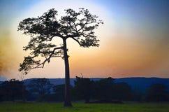Raintree和日落 免版税库存照片