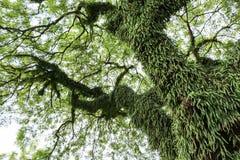 Raintree长满与其他寄生和共生植物 库存照片