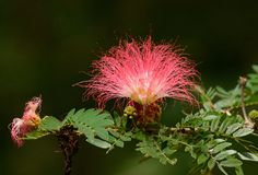 Raintree flower Samanea saman Jacg. Merr. Beautiful Raintree flower Samanea saman Jacg. Merr.  at Thai flower garden Stock Photos