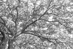Raintree1. Unber the raintree in rain forest light Royalty Free Stock Photo