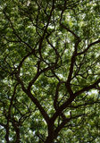 Raintree4. Unber the raintree in rain forest light Royalty Free Stock Photos