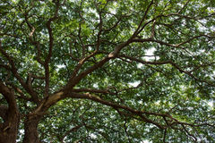 Raintree2. Unber the raintree in rain forest light Stock Photo