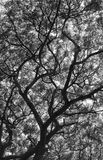 Raintree3. Unber the raintree in rain forest light Stock Image