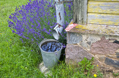 Rainwater collected in a bucket by the building with lavender growing Stock Photography