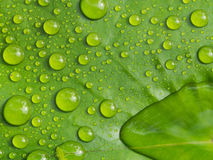 Rainwater Rolling on a Lotus. Leaf Stock Photos