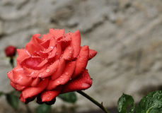 Rainy. Close up of a red rose covered with rain drops Royalty Free Stock Photos
