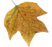 Rainy autumn. Colorful fall leaf that is covered in rain stock photo