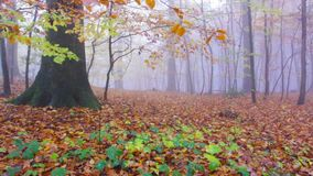 Rainy Autumn Forest in Siebengebirge Germany. Foggy and Rainy Autumn colorful Forest in Siebengebirge Germany stock video