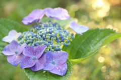 Rainy blue hydrangea in blurry soft mood. Japanese rainy blue hydrangea in blurry soft mood stock photography