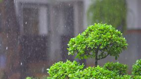 Rainy Bonsai Episode In the daytime, soaking up, filmed with VDO