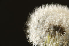 Rainy dandelion seed abstract in black. Background Stock Photos