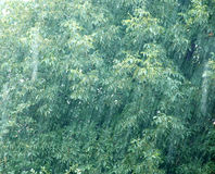 Rainy day. Rain drops over green walnut tree leaves Stock Images