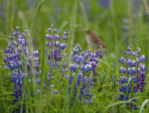 Rainy Day. Asmall bird sits perched on a Lupine flower Stock Photography