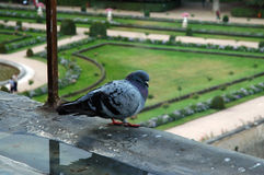 Rainy day in Chenenceau, France. Pigeon, sitting on a balustrade in french garden Royalty Free Stock Images