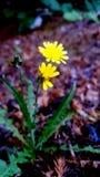 Rainy day dandelion Royalty Free Stock Photo