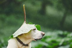 Rainy day with dog in nature. Labrador retriever hiding head under leaf of burdock in rain royalty free stock photography