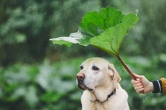 Rainy day with dog in nature. Man holding leaf of burdock above his sad labrador retriever royalty free stock photography
